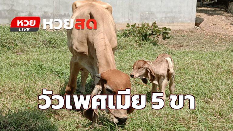 วัวเพศเมีย 5 ขา